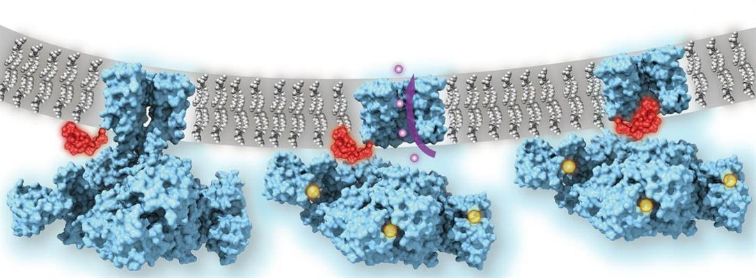 Calcium-gated potassium channel MthK in closed, open, and inactivated states