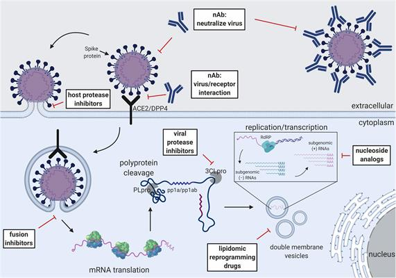 Schematic of the CoV replication cycle and key steps for antiviral targets