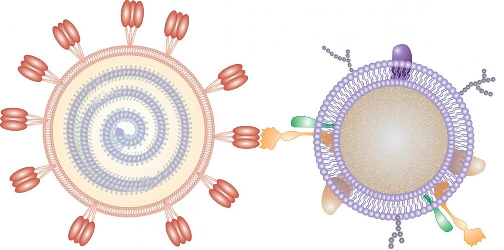 In this illustration, a nanosponge coated with a human cell membrane acts as a decoy to prevent a virus from entering cells.