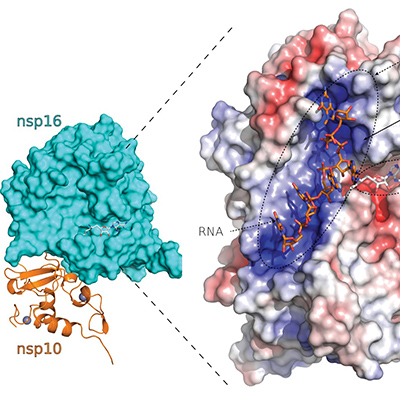 SARS-CoV-2 structure informs clinical trials | Progress in gene therapies, immunotherapies