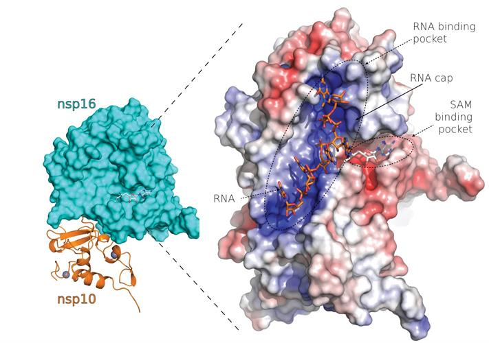 The SARS-CoV-2 nsp10-nsp16 protein complex.