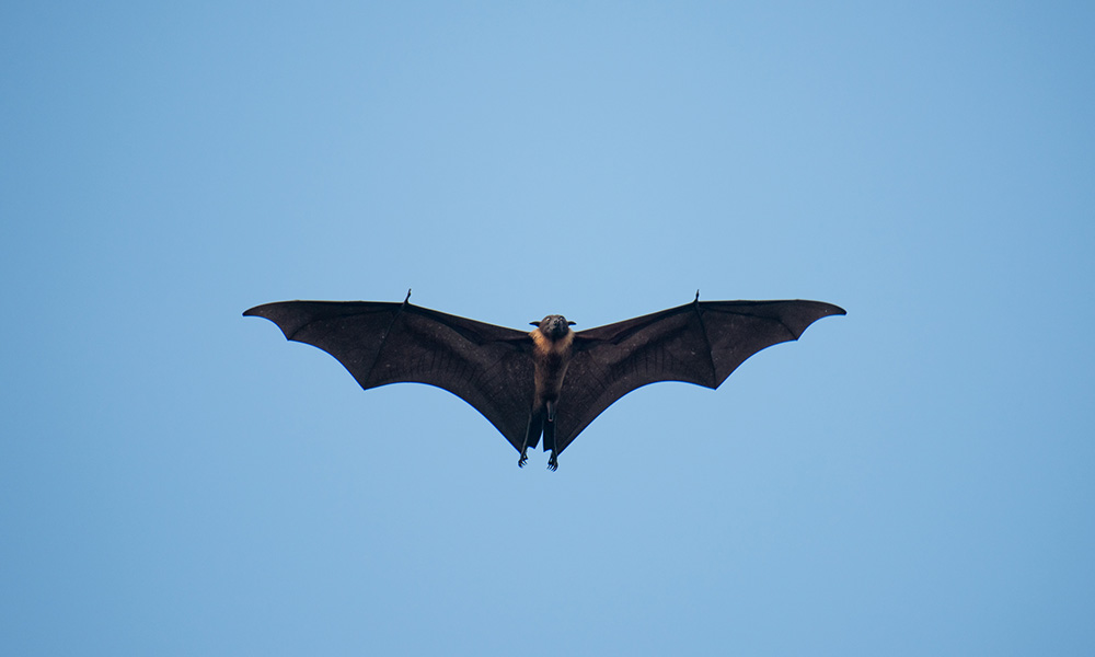 Bats--the only flying mammals--are highly mobile, constantly bringing new pathogens into their communities.