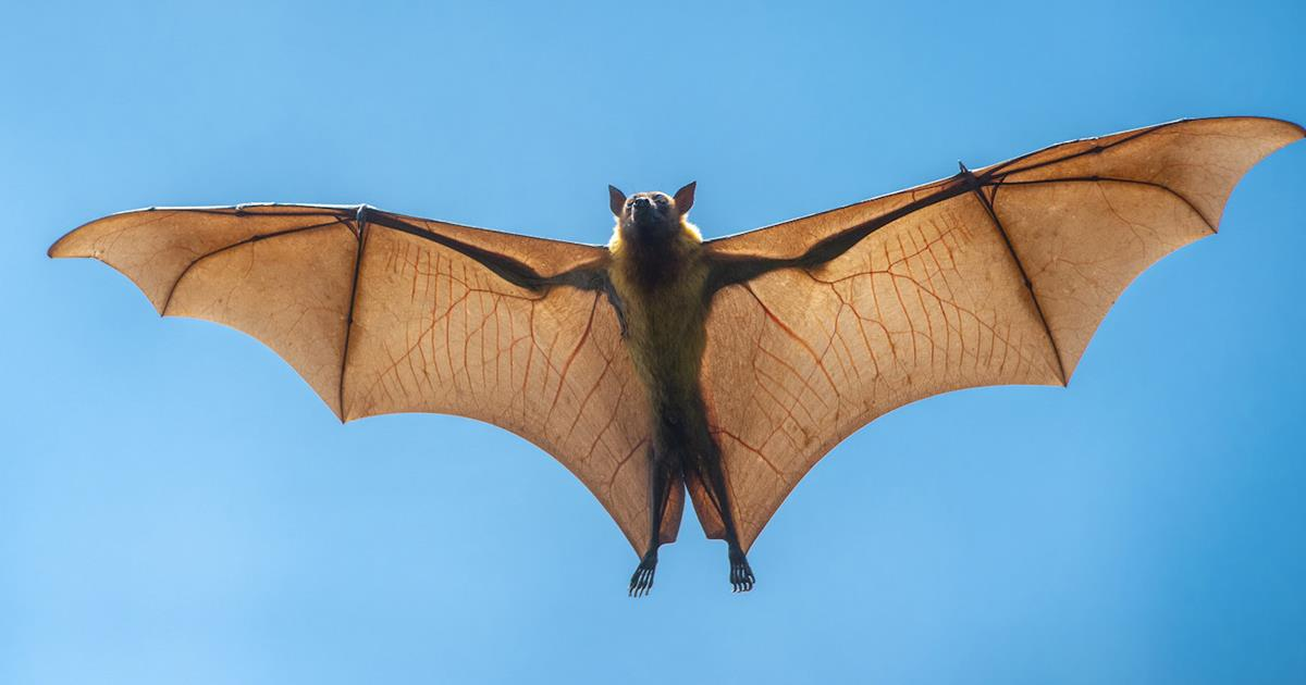 Unveiling bat secrets of immunity could offer clues to treating COVID-19